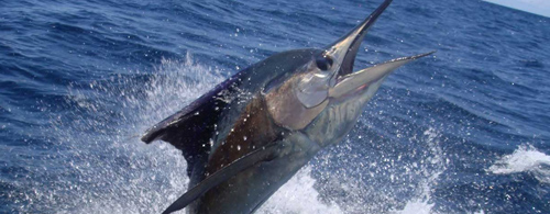 Costa Rica - Crocodile Bay - Sailfish